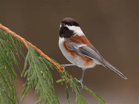 chestnut backed chickadee 11