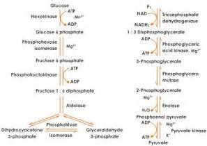 Ref http www tutorvista com content biology biology iv respiration