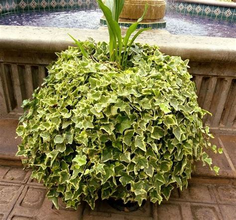 edera in casa edera piante per giardino coltivare edera
