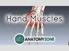 Muscles of the Hand • Muscular, Musculoskeletal • AnatomyZone Female Urinary System Anatomy