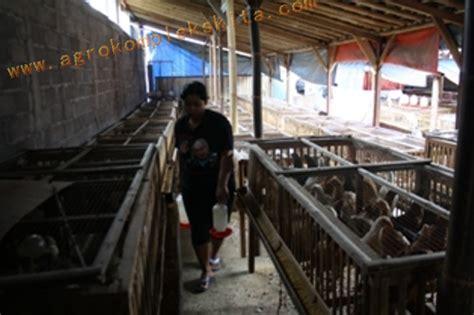 Beternak Ayam Kung Jowo Joper 50 Hari Panen img 6258 ayam jawa panen usia 60 hari pemberian vittoterna 60 persen agrokompleks mmc