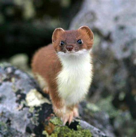 ermine color ermine also known as a stoat the beautiful coloring of