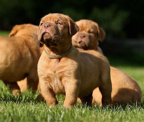 dogue de bordeaux puppy dogue de bordeaux puppies for sale basildon essex pets4homes