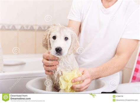 golden retriever puppy taking a bath golden retriever puppy in shower stock photo image 47966738
