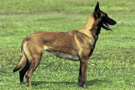 malinois breed belgian malinois all big breeds