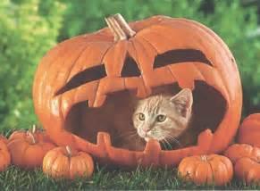 cat and pumpkin cats and kittens cat in a pumpkin