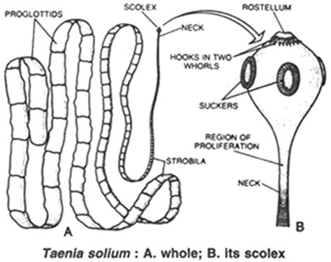 labelled diagram of tapeworm platyhelminthes at of the philippines los banos studyblue