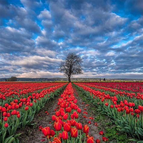 7 tulip farms to visit in america how to visit tulip