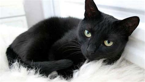 i gatti neri non portano sfortuna sono solitari