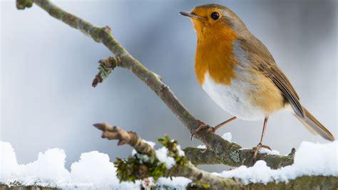 Rotkehlchen Im Winter 4661 by Rotkehlchen Erithacus Rubecula Singvogel Schn 228 Pper