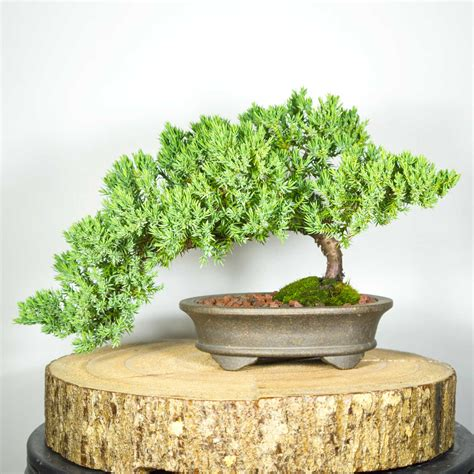 bonsai ebay bonsai tree shohin juniper squamata semi cascade 43 ebay