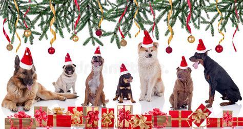 christmas shar pei stock image image  decoration park