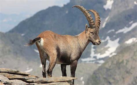 de cabras cabra salvaje informaci 243 n y caracter 237 sticas