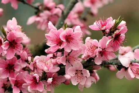 flower bloom bright branch plant hd wallpaper 1920 x 1080 apple tree bright pink flowers petals blossoms