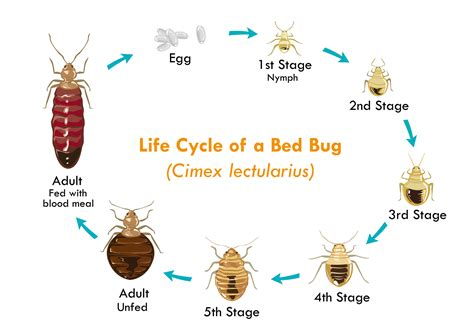 life cycle of a bed bug bed bug tips johnson pest control pest control