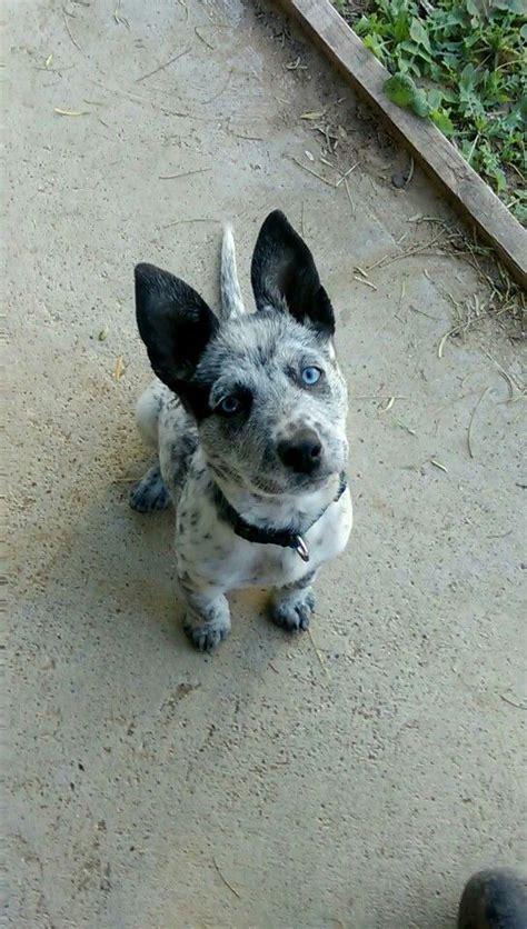blue heeler and golden retriever mix best 25 pitbull mix breeds ideas on doberman temperament mix pitbull and