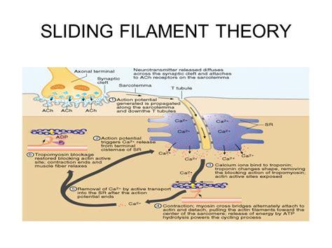 filament diagram sliding filament theory diagram 28 images sliding