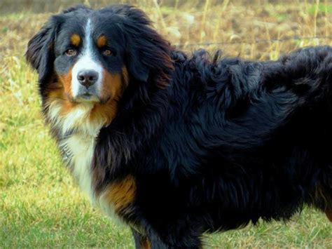 bernese mountain puppies for sale near perry iowa akc marketplace bernese mountain puppies for sale near perry iowa akc marketplace