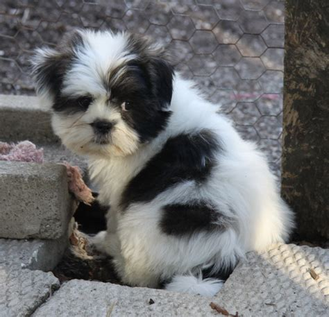shih tzu breeders in upstate ny maggie yorkie x bichon 2 puppies for sale dogs for sale in ontario breeds picture