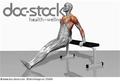 the muscles involved in bench dipping exercises the