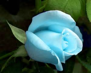 light blue rose beautiful flowers picture
