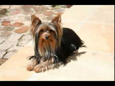 facts about yorkie terrier facts facts about terriers chanel bridget