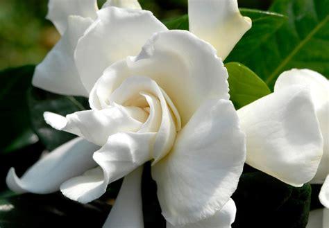 Gardenia In Gard 233 Nia Planter Et Entretenir Ooreka