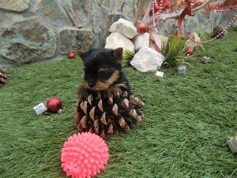 perros yorkie en venta venta de venta