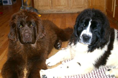 brown newfoundland puppies for sale idaho newfoundlands newfoundland breeders idaho newfoundland puppies for sale
