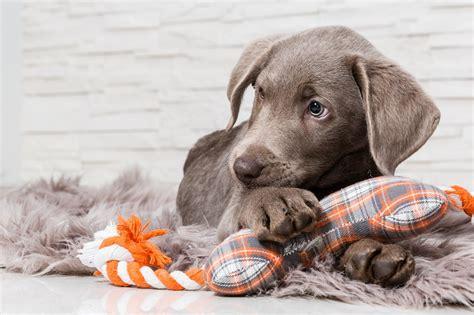 hund pinkelt in die wohnung wenn er alleine ist hunde alle infos f 252 r anf 228 nger