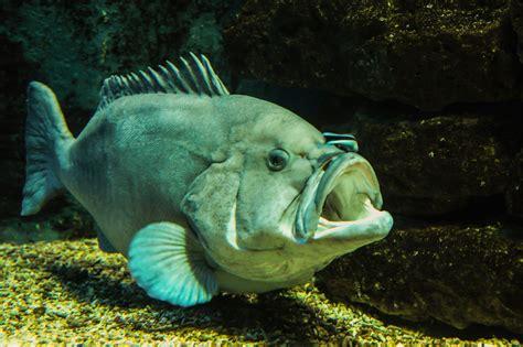 Ikan Cere Laut gambar 21 jenis ikan laut menyeramkan predator unik gambar
