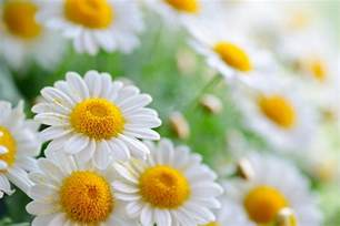 Daisy Facts Daisies White Daisies Wallpapers And Images Wallpapers