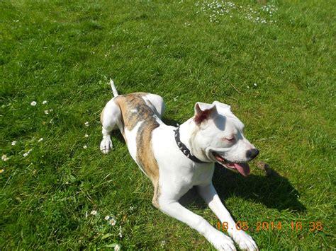 american bulldog puppy for sale american bulldog puppy for sale nottingham nottinghamshire pets4homes