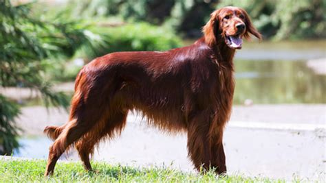 irish setter dog hiking irish setter