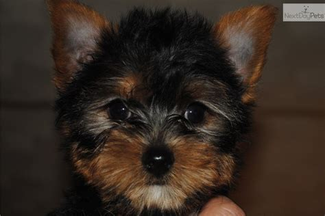 yorkie breeders in indiana terrier yorkie for sale for 700 near bloomington indiana 97d72ecf c421
