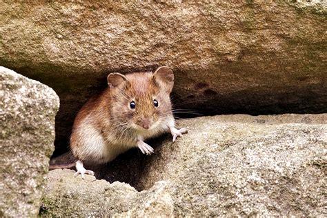 was tun gegen mäuse im garten pflanzen gegen w 252 hlm 228 use r ben forum mal wieder