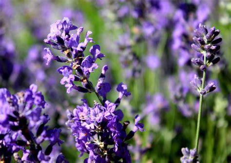 Lavender Essential lavender essential health benefits
