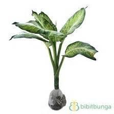 Tanaman Aglaonema Heng Heng Aglonema Hengheng tanaman aglaonema heng heng bibitbunga