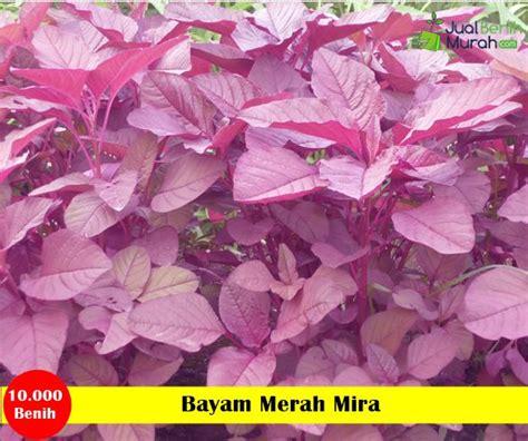 Benih Sayuran Cap Panah Merah bayam merah mira panah merah jualbenihmurah