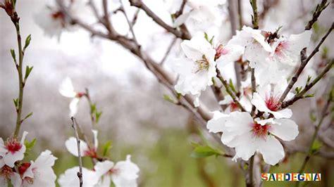 mandorli in fiore lo spettacolo dei mandorli in fiore in sardegna