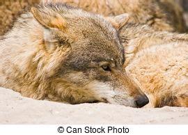 im 225 genes de un lobo gris im 225 genes y fotos sol lobo invierno sol de invierno mirar lobo algo
