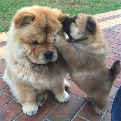 how much are chow chow puppies 25 best ideas about chow chow dogs on chow chow chow chow puppies and