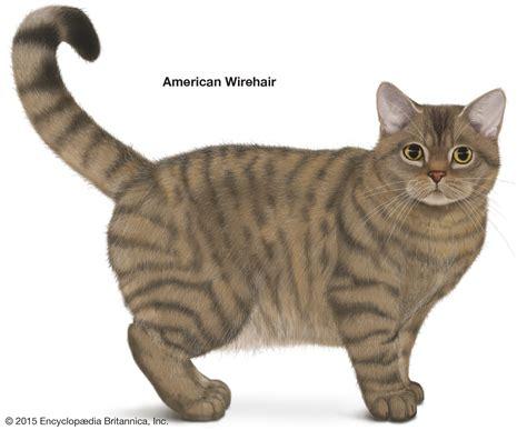 american wirehair cat breeders shorthair cat breeds britannica