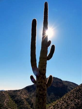 Saguaro Cactus Ls by Tonto National Monument Tonto National Forest Sunset Bld