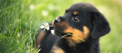 puppy flowers rottweiler puppy with flower in