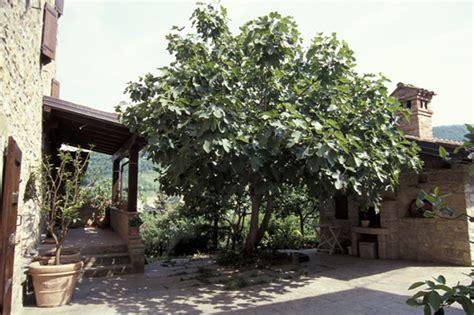 pianta di fico in vaso giardini