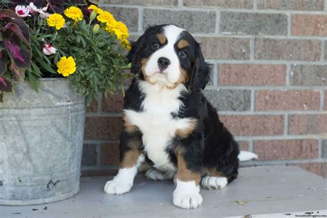 mini bernese mountain miniature bernese mountain puppies for sale greenfield puppies