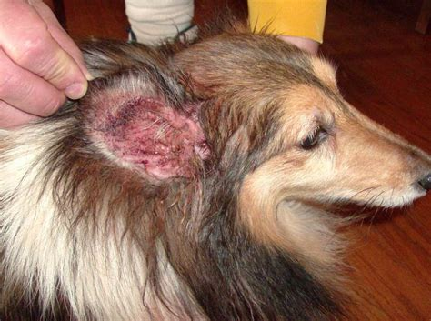 Home Remedies For Ear Mites In Dogs by Ear Infections And Mites Breeds Picture