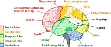 brain regions and functions asu ask a biologist