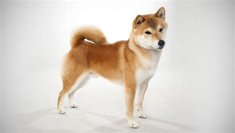 puppy shiba inu shiba inu breed selector animal planet